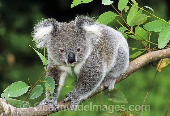 Koala (Phascolarctos cinereus) on a eucalypt gum tree branch. Australia Photo - Gary Bell