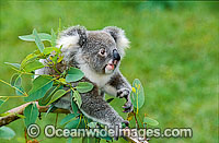 Koala on eucalypt gum tree branch photo