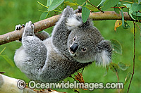 Koala hanging from a eucalypt gum tree branch photo