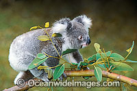 Koala on eucalypt gum tree branch Photo - Gary Bell