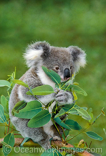 Koala (Phascolarctos cinereus) eating eucalypt gum tree leaves. Australia Photo - Gary Bell