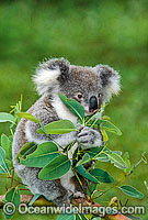 Koala eating eucalypt gum tree leaves Photo - Gary Bell
