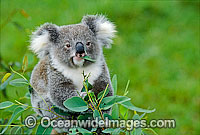 Koala eating eucalypt gum tree leaves photo