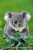 Koala in a eucalypt gum tree photo