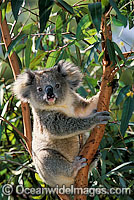 Koala in eucalypt gum tree Photo - Gary Bell