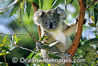 Koala in eucalypt gum tree photo