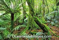 Rainforest Mount Dandenong National Park image