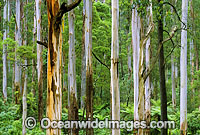Mountain Ash Tree-fern rainforest Photo - Gary Bell