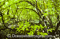 Tropical Pisonia tree rainforest Photo - Gary Bell
