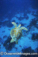 Green Sea Turtle Chelonia mydas Photo - Gary Bell