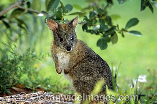 pademelon pet - photo #5