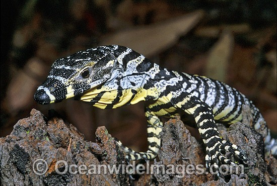 Lace Monitor (Varanus varius) hatchling on rainforest tree. Also known as Goanna. Coffs Harbour, New South Wales, Australia Photo - Gary Bell