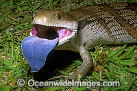 Eastern Blue-tongued Lizard Tiliqua scincoides Photo - Gary Bell