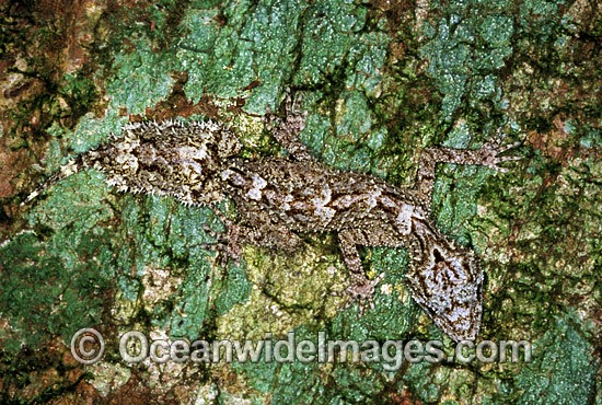 Leaf-tailed Gecko (Saltuarius swaini) on rainforest tree. Coffs Harbour, New South Wales, Australia Photo - Gary Bell