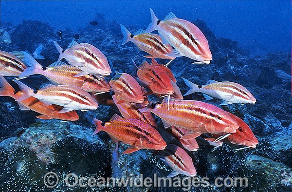Schooling Black-spot Goatfish (Parupeneus signatus). Solitary Islands, Coffs Harbour, New South Wales, Australia Photo - Gary Bell