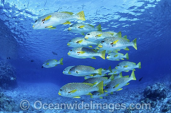 Schooling Diagonal-banded Sweetlips (Plectorhinchus lineatus). Great Barrier Reef, Queensland, Australia