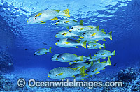 Schooling Diagonal-banded Sweetlips Photo - Gary Bell