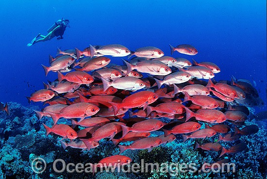 Schooling Pinjalo Snapper (Pinjalo lewisi) with Scuba Diver. Indo-Pacific