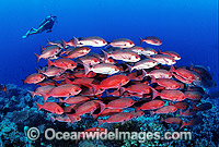 Schooling Pinjalo Snapper Scuba Diver Photo - Gary Bell