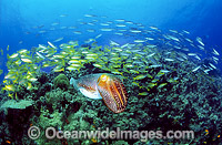 Broadclub Cuttlefish hunting Goatfish photo