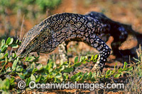 Perentie Monitor Varanus giganteus Goanna Exmouth photo