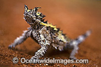 Thorny Devil Lizard Moloch horridus Moloch Lizard photo