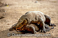 Komodo Dragons Komodo Island photo