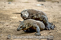 Komodo Dragons Photo - Gary Bell