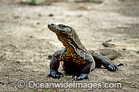 Komodo Dragon Varanus komodoensis Photo - Gary Bell