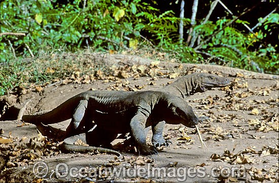 Komodo Dragons (Varanus komodoensis). World's largest lizard found on Komodo, Rinca, Flores, and Gili Motang Islands, Indonesia. Photo taken on Komodo Island. Listed as Vulnerable species on the IUCN Red List. Photo - Gary Bell