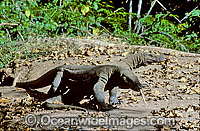 Komodo Dragons Komodo Island Photo - Gary Bell