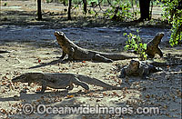 Komodo Dragons Varanus komodoensis Photo - Gary Bell