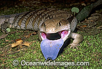 Eastern Blue-tongued Lizard Tiliqua scincoides photo