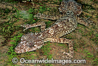 Leaf-tailed Gecko on rainforest tree photo