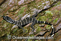 Lace Monitor hatchling on rainforest tree Goanna Photo - Gary Bell
