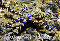 Blue-ringed Octopus Photo - Gary Bell