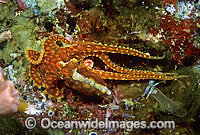 Reef Octopus Octopus abaculus photo