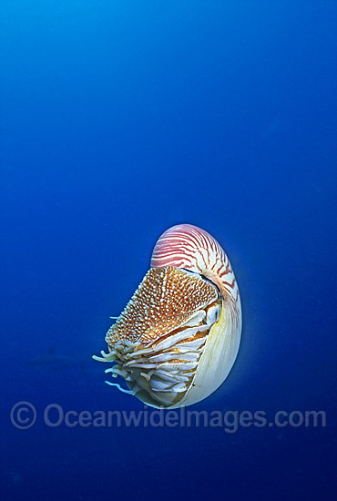 Chambered Nautilus Nautilus pompilius photo