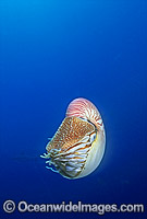 Chambered Nautilus Nautilus pompilius stock photo