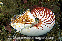 Chambered Nautilus stock photo