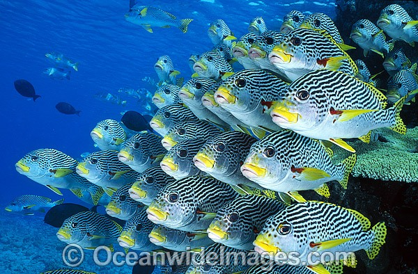 Image gallery diagonal banded sweetlips for Sweet lips fish