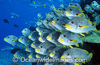 Diagonal-banded Sweetlips Photo - Gary Bell