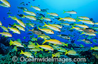 Yellow-striped Goatfish schooling Photo - Gary Bell