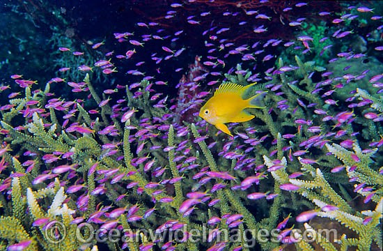 Schooling juvenile Purple Fairy Basslets (Pseudanthias tuka) and a Golden Damselfish (Amblyglyphidodon aureus ) amongst branching Acropora Coral. Damsel also known as Lemon, Yellow Damsel and Golden Sergeant. Great Barrier Reef, Queensland, Australia Photo - Gary Bell