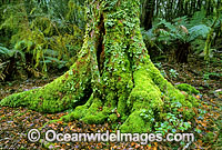 Aantarctic Beech Tree temperate rainforest Photo - Gary Bell