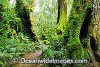 Border Track Antarctic Beech tree forest Photo - Gary Bell
