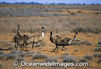Flock of Emus against fence Photo - Gary Bell