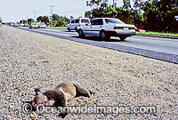 Road kill victim dead Koala Photo - Gary Bell