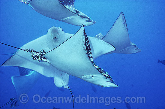 Schooling White-spotted Eagle Ray (Aetobatus narinari). Also known as Bonnet Skate, Duckbill Ray and Spotted Eagle Ray. Great Barrier Reef, Queensland, Australia