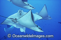 White-spotted Eagle Ray Aetobatus narinari Photo - Bob Halstead